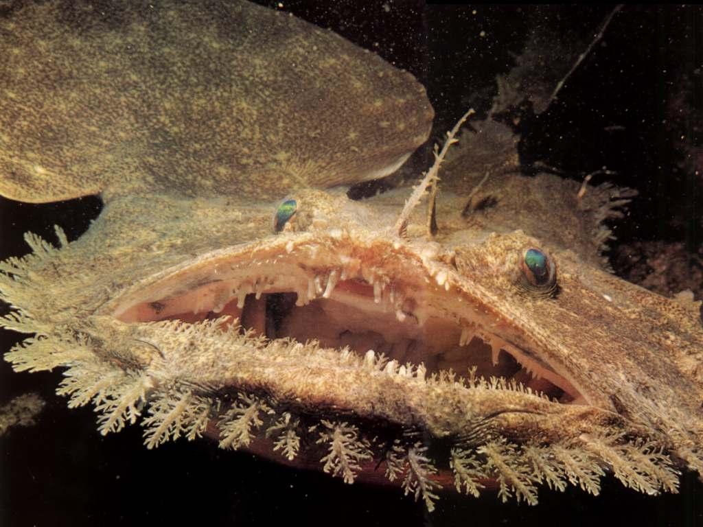 goosefish.jpg